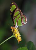 Green Triangle (Philaethria dido)