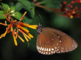 The Common Indian Crow (Euploea core)