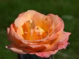 Lansdown Rose's