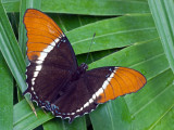 Rusty Tipped Butterfly (or Brown Siproeta)