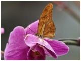 Dryas Julia on Orchid