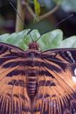 Parthenos sylvia or clipper