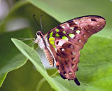 Green spotted triangle