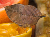 Indian Leaf Butterfly loves orange juice