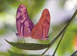 Mating Julia Heliconian's (Dryas julia) (1,476 views)