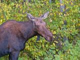 Manitoba Female Moose Portrait