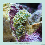 Lettuce Sea Slug (Nudibranch)