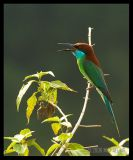 Blue Throated Bee Eaters