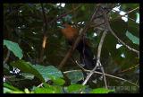 Raffles Malkoha (male)