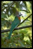 Red Breasted Bee Eater (male)