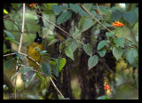 Black Crested Bulbul