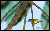 Orange Bellied Flowerpecker (male)