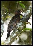 Laced Woodpecker (male)