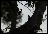 Laced Woodpecker Pair