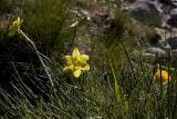Daffodils (Jacinto Papirus) Sierra de Gredos (La Covacha)