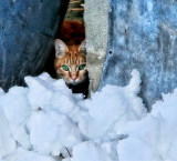 The shy snow-cat of Bassins
