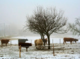 Misty cows...