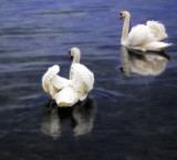 Maybe swans are floating day-dreams....