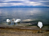 The beach of the swans