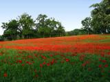 Poppies 4