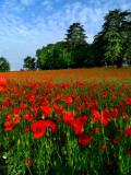 Poppies 9