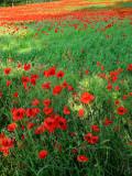 Poppies 14