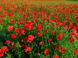 Poppies 19