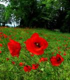 Poppies 28