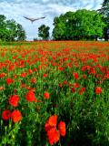 Poppies 32