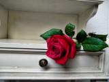 Tired rose