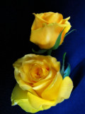 Rhapsody in Blue for yellow roses...