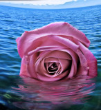 Shipwrecked rose ...