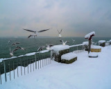 Winter dance of lakegulls...