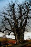 The venerable, elderly tree of Marchissy