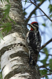 Red-naped Sapsucker (Sphyrapicus nuchalis)female