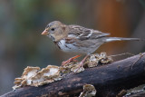 Harris's Sparrow (Zonotrichia querula)
