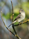 Willow Flycatcher(Empidonax traillii)