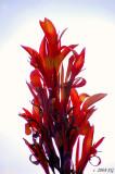 Cana Blossoms