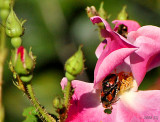 Busy, busy Japanese Beetles