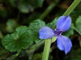 fleur de lis bleu