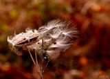 Milkweed Feathers