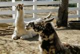 Llamas Who Llunch