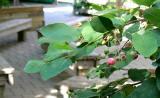 Early Cherries