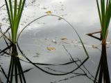 Arched Reed