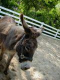 Grand Canyon Donkey