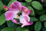 Wild Rose with Beetle