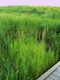 Grass in Flower