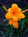 Apricot Lily
