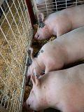 Piggies Three