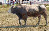 Bull Brindle